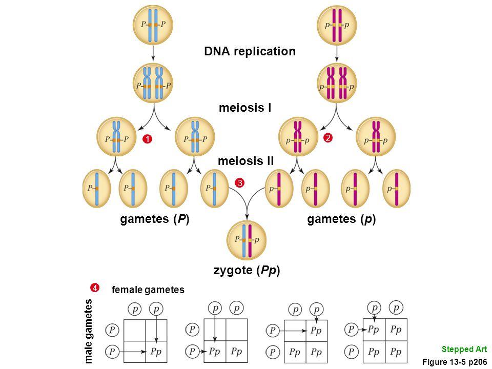 Stepped Art gametes (p) meiosis II gametes (P) DNA replication meiosis I 1 2 zygote (Pp) 3 female gametes male gametes 4 Figure 13-5 p206