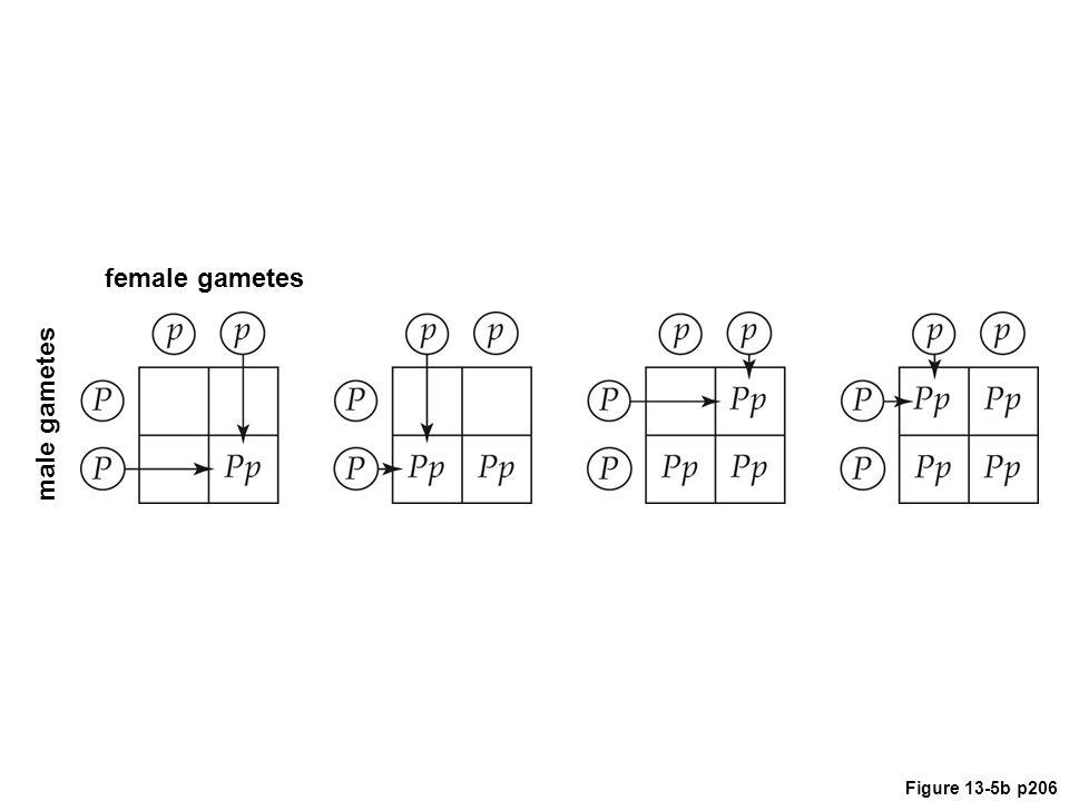 Figure 13-5b p206 male gametes female gametes