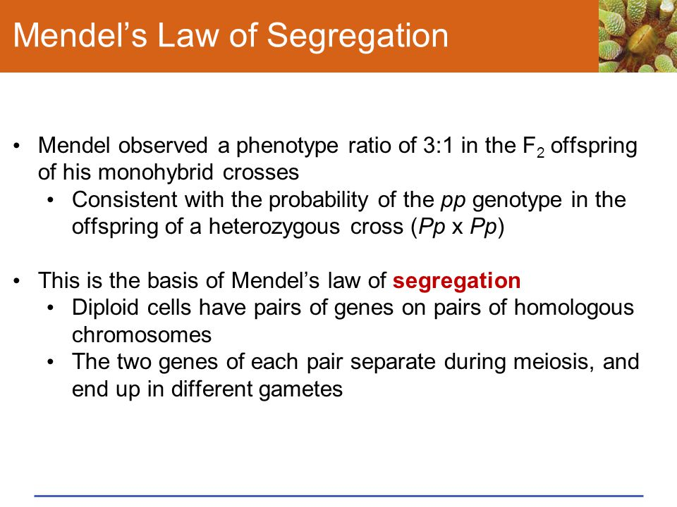 Mendel's Law of Segregation Mendel observed a phenotype ratio of 3:1 in the F 2 offspring of his monohybrid crosses Consistent with the probability of