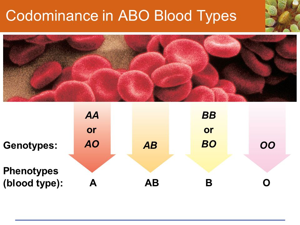 Codominance in ABO Blood Types Phenotypes (blood type): Genotypes: O OO BABA AA or AO AB BB or BO