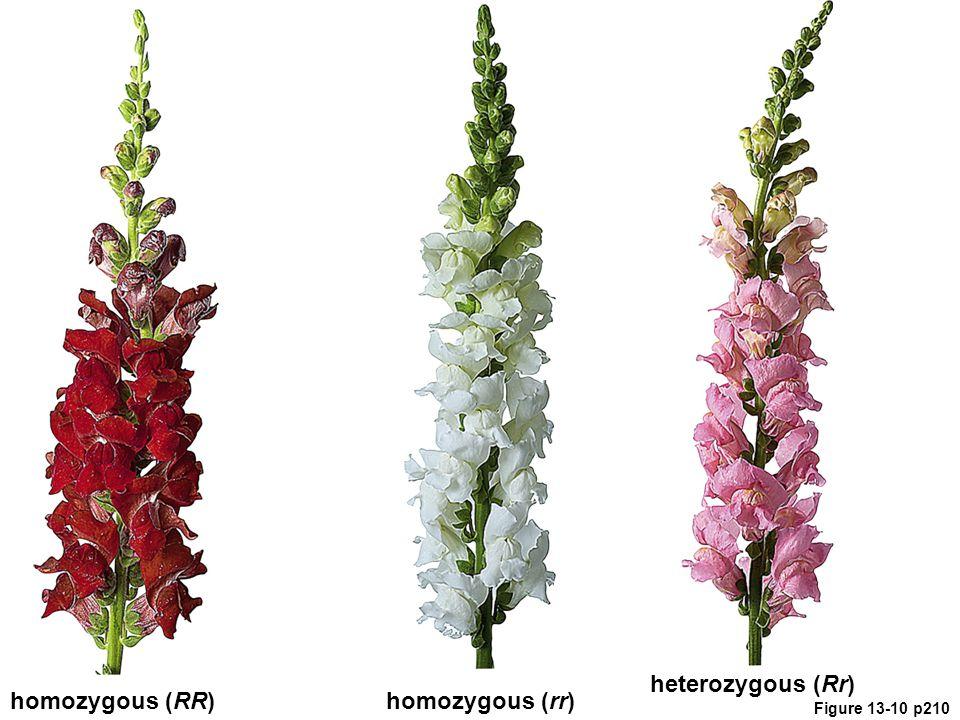 Figure 13-10 p210 homozygous (RR)homozygous (rr) heterozygous (Rr)