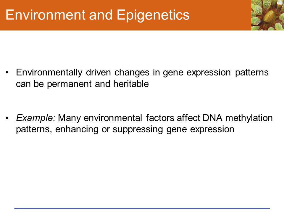 Environment and Epigenetics Environmentally driven changes in gene expression patterns can be permanent and heritable Example: Many environmental fact