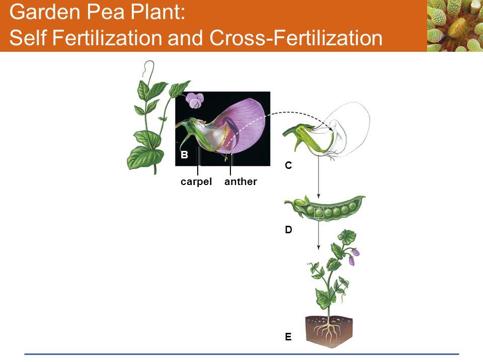 Garden Pea Plant: Self Fertilization and Cross-Fertilization carpel A anther B C D E