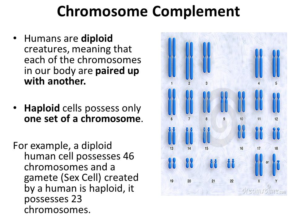 Chromosome Complement Humans are diploid creatures, meaning that each of the chromosomes in our body are paired up with another.