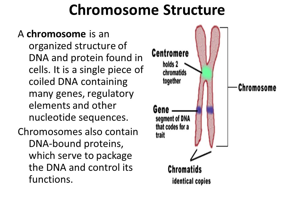 Chromosome Structure A chromosome is an organized structure of DNA and protein found in cells.