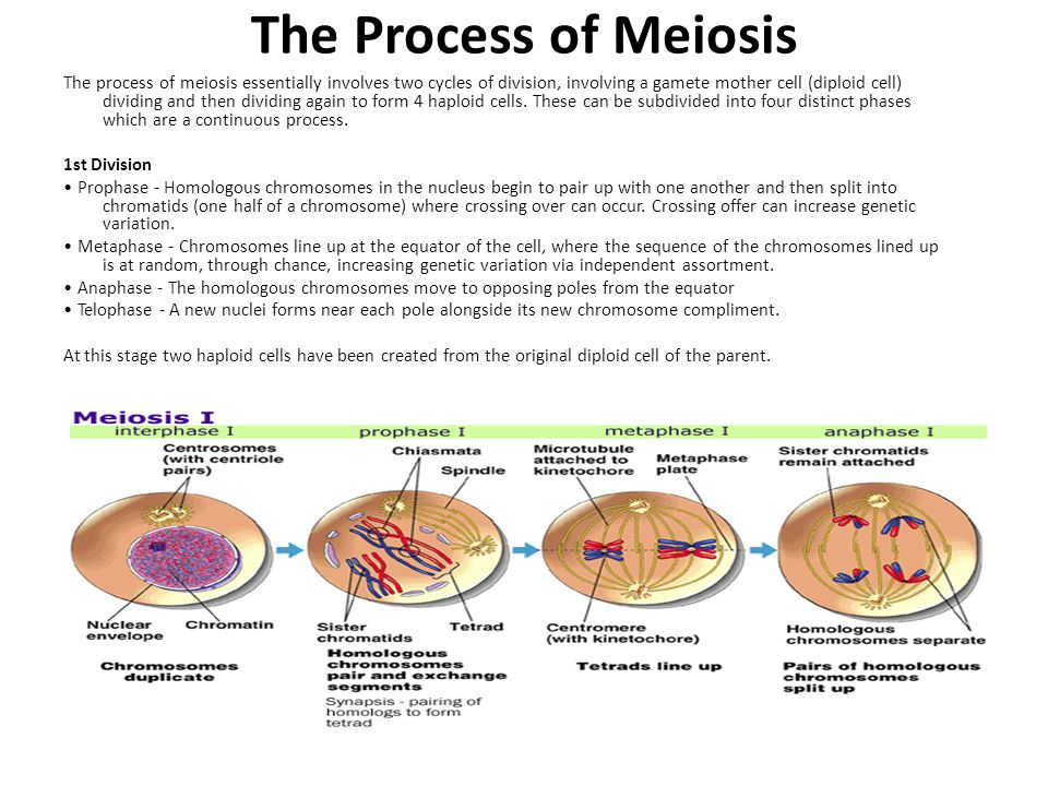 The Process of Meiosis The process of meiosis essentially involves two cycles of division, involving a gamete mother cell (diploid cell) dividing and then dividing again to form 4 haploid cells.
