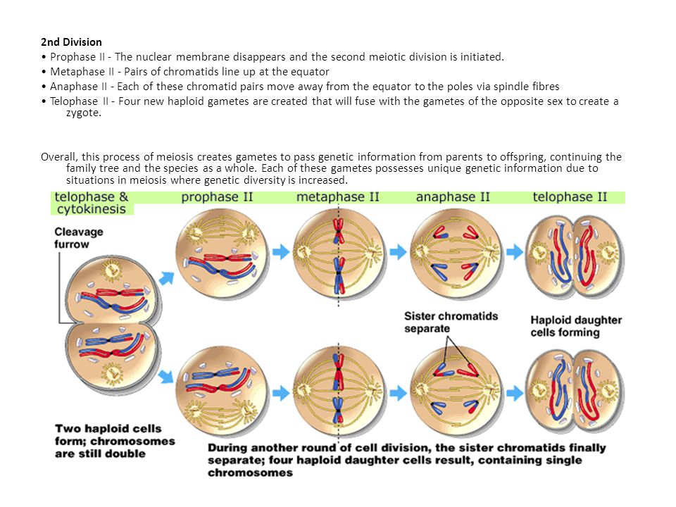 2nd Division Prophase II - The nuclear membrane disappears and the second meiotic division is initiated.