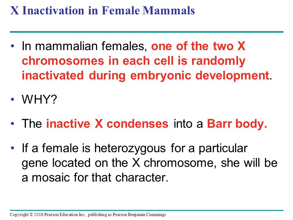 X Inactivation in Female Mammals In mammalian females, one of the two X chromosomes in each cell is randomly inactivated during embryonic development.