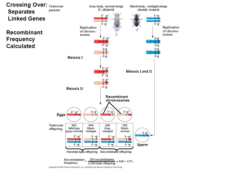 Crossing Over: Separates Linked Genes Recombinant Frequency Calculated Testcross parents Replication of chromo- somes Gray body, normal wings (F 1 dihybrid) Black body, vestigial wings (double mutant) Replication of chromo- somes b + vg + b vg b + vg + b + vg b vg + b vg Recombinant chromosomes Meiosis I and II Meiosis I Meiosis II b vg + b + vg b vg b + vg + Eggs Testcross offspring 965 Wild type (gray-normal) 944 Black- vestigial 206 Gray- vestigial 185 Black- normal b + vg + b vg b + vg b vg b vg + Sperm b vg Parental-type offspringRecombinant offspring Recombination frequency = 391 recombinants 2,300 total offspring  100 = 17%