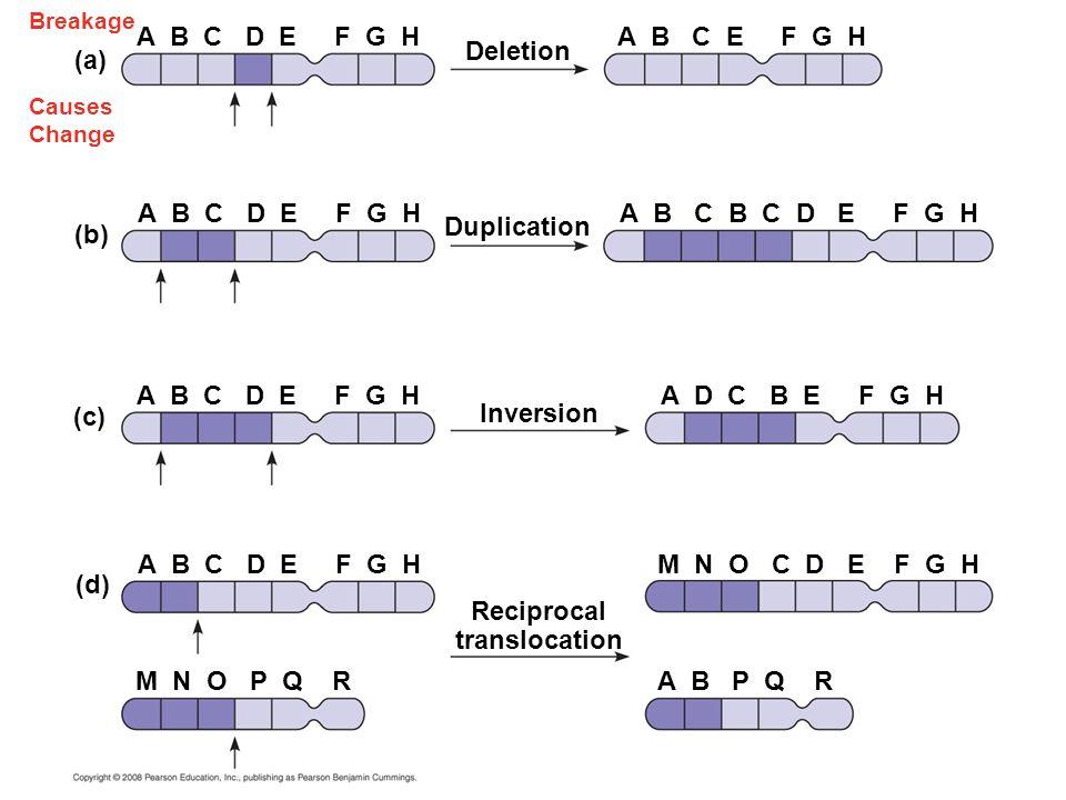 Breakage Causes Change Deletion A B C D E F G HA B C E F G H (a) (b) (c) (d) Duplication Inversion Reciprocal translocation A B C D E F G H A B C B C D E F G H A D C B E F G H M N O C D E F G H M N O P Q RA B P Q R