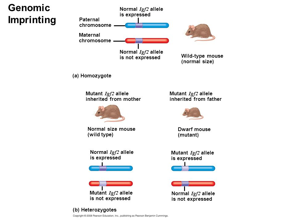 Genomic Imprinting Normal Igf2 allele is expressed Paternal chromosome Maternal chromosome Normal Igf2 allele is not expressed Mutant Igf2 allele inherited from mother (a) Homozygote Wild-type mouse (normal size) Mutant Igf2 allele inherited from father Normal size mouse (wild type) Dwarf mouse (mutant) Normal Igf2 allele is expressed Mutant Igf2 allele is expressed Mutant Igf2 allele is not expressed Normal Igf2 allele is not expressed (b) Heterozygotes