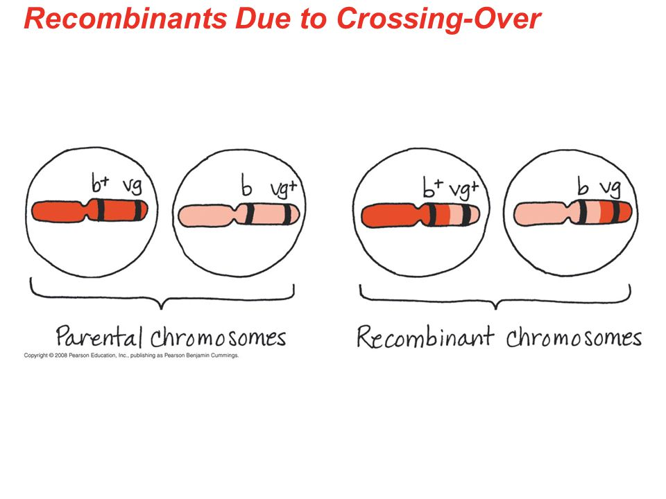 Recombinants Due to Crossing-Over