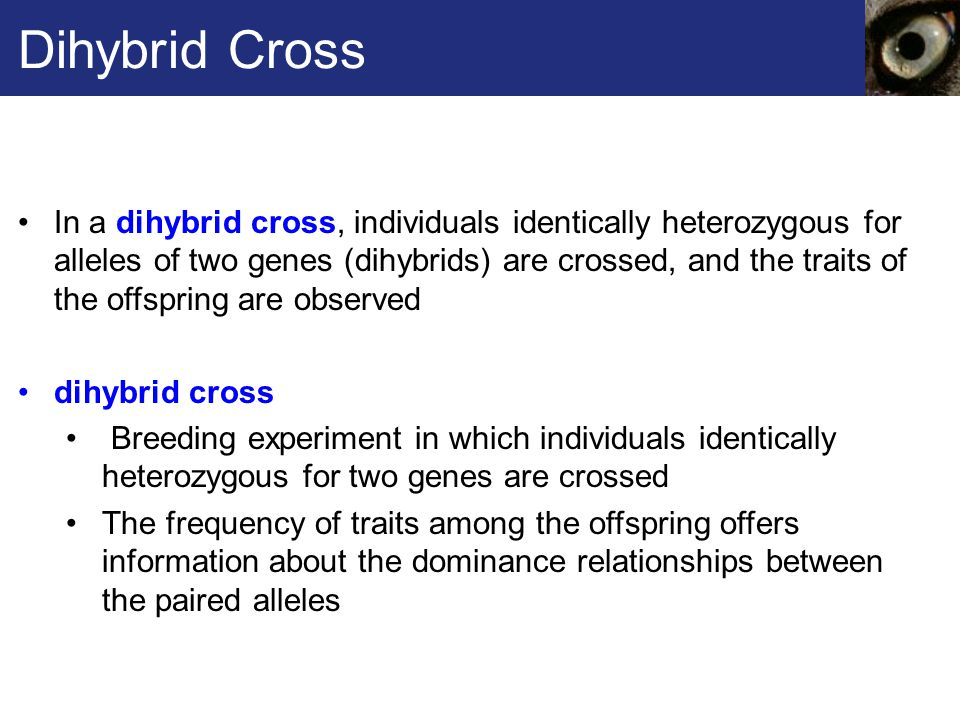 Dihybrid Cross In a dihybrid cross, individuals identically heterozygous for alleles of two genes (dihybrids) are crossed, and the traits of the offspring are observed dihybrid cross Breeding experiment in which individuals identically heterozygous for two genes are crossed The frequency of traits among the offspring offers information about the dominance relationships between the paired alleles