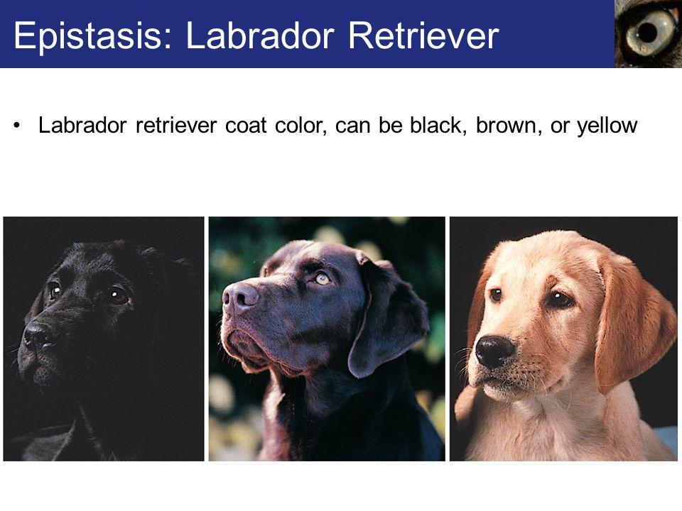 Epistasis: Labrador Retriever Labrador retriever coat color, can be black, brown, or yellow