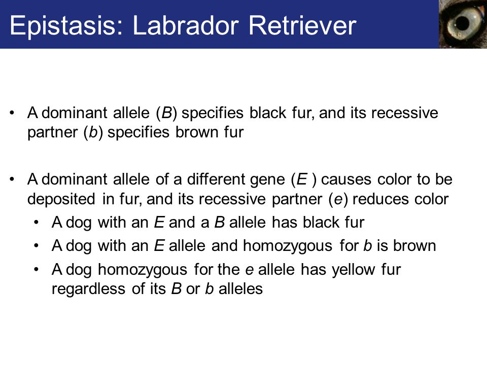 Epistasis: Labrador Retriever A dominant allele (B) specifies black fur, and its recessive partner (b) specifies brown fur A dominant allele of a different gene (E ) causes color to be deposited in fur, and its recessive partner (e) reduces color A dog with an E and a B allele has black fur A dog with an E allele and homozygous for b is brown A dog homozygous for the e allele has yellow fur regardless of its B or b alleles