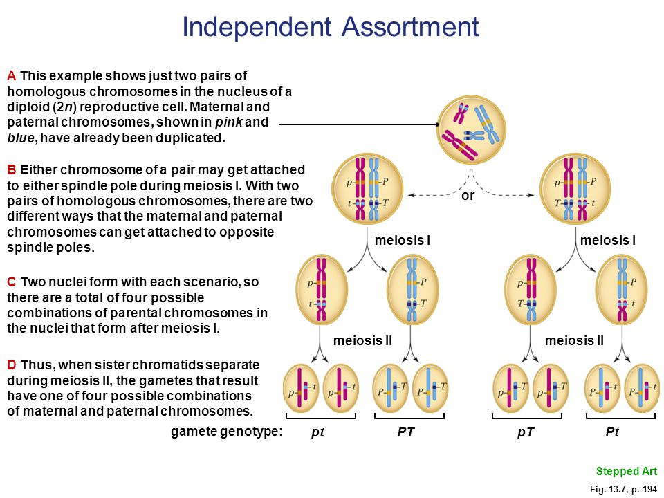 B Either chromosome of a pair may get attached to either spindle pole during meiosis I.