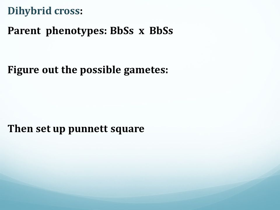 Dihybrid cross: Parent phenotypes: BbSs x BbSs Figure out the possible gametes: Then set up punnett square