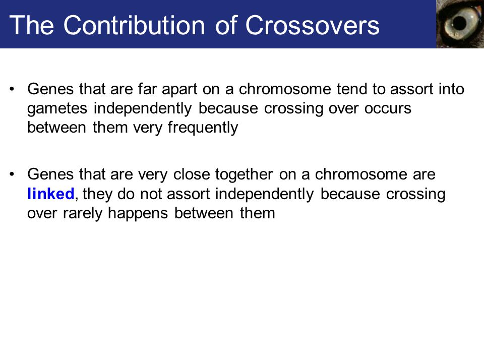 The Contribution of Crossovers Genes that are far apart on a chromosome tend to assort into gametes independently because crossing over occurs between