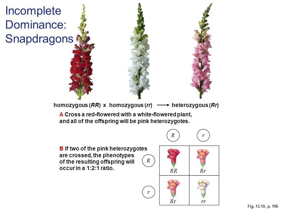 Fig. 13.10, p. 196 homozygous (RR) x homozygous (rr) heterozygous (Rr) A Cross a red-flowered with a white-flowered plant, and all of the offspring wi