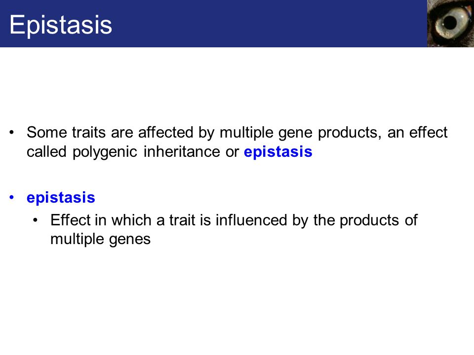 Some traits are affected by multiple gene products, an effect called polygenic inheritance or epistasis epistasis Effect in which a trait is influence