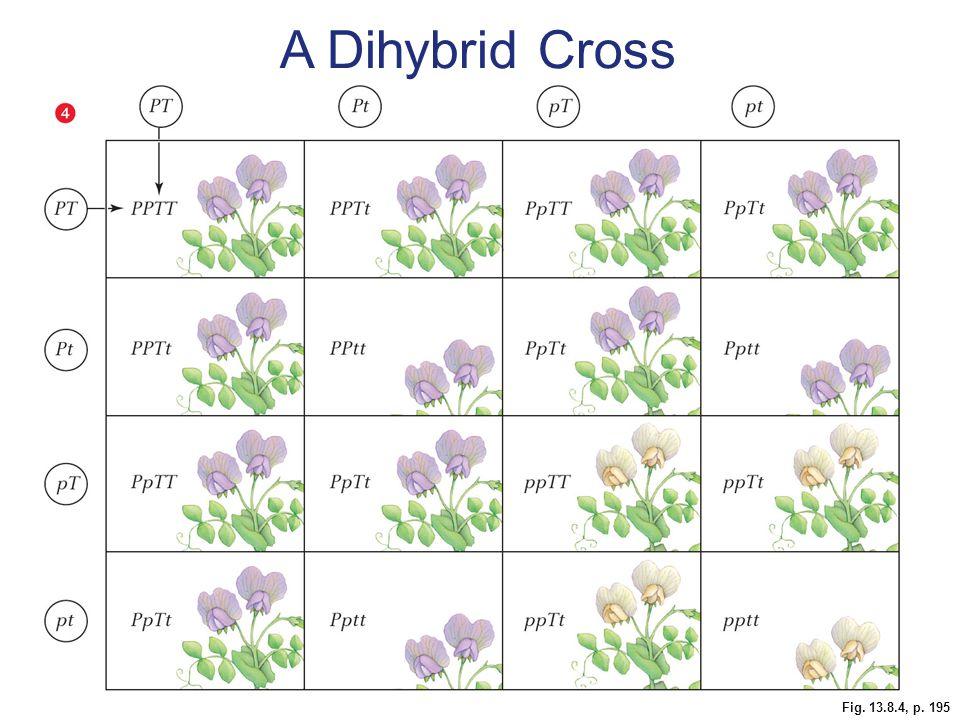 Fig. 13.8.4, p. 195 A Dihybrid Cross