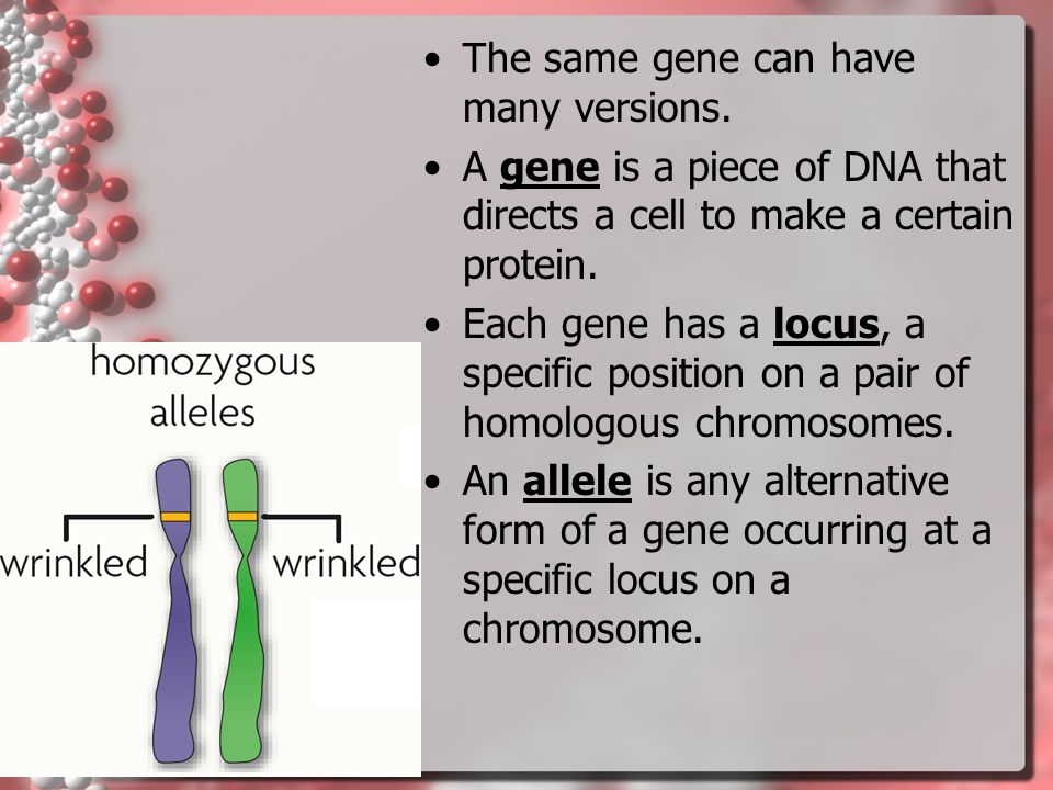 purplewhite Mendel drew three important conclusions. –Traits are inherited as discrete units. –Organisms inherit two copies of each gene, one from eac