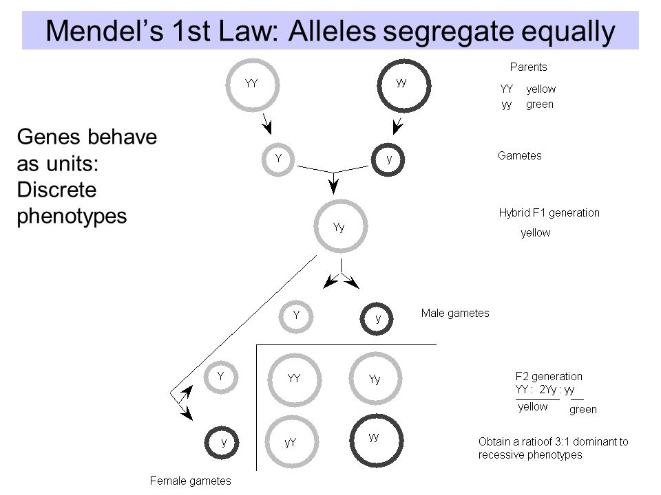 Mendel's 1st Law: Alleles segregate equally Genes behave as units: Discrete phenotypes