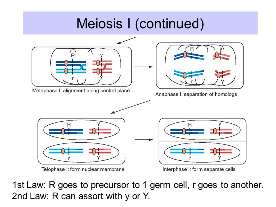 Meiosis I (continued) 1st Law: R goes to precursor to 1 germ cell, r goes to another.