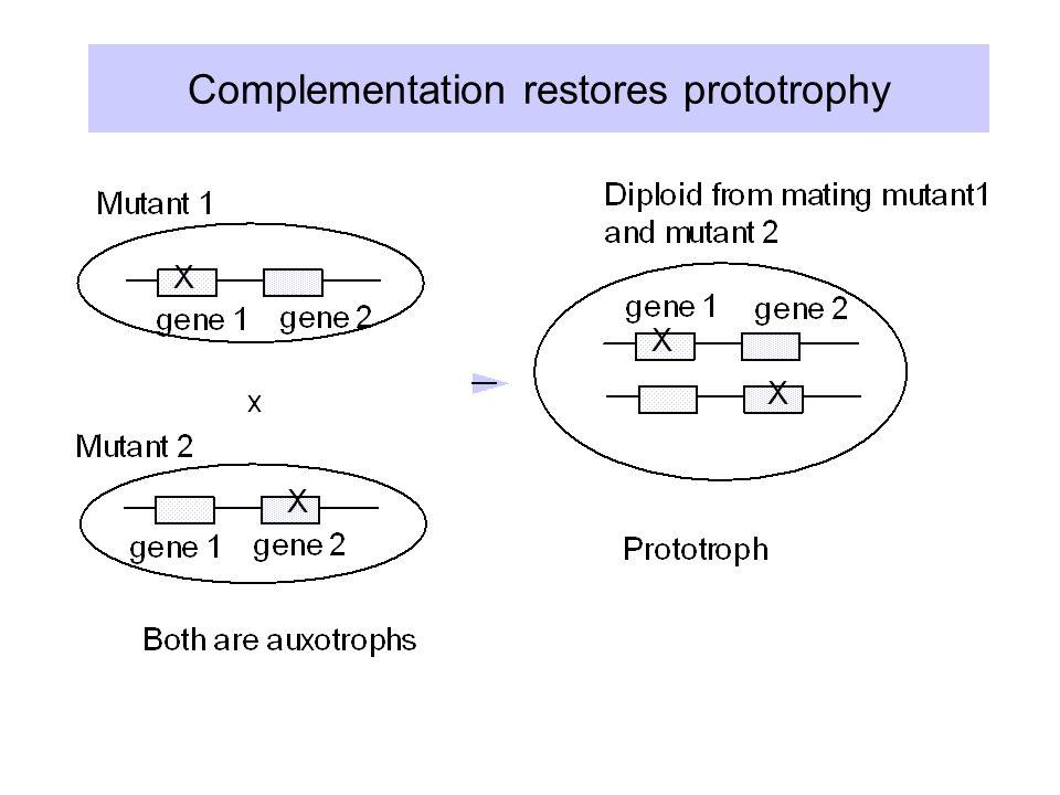 Complementation restores prototrophy