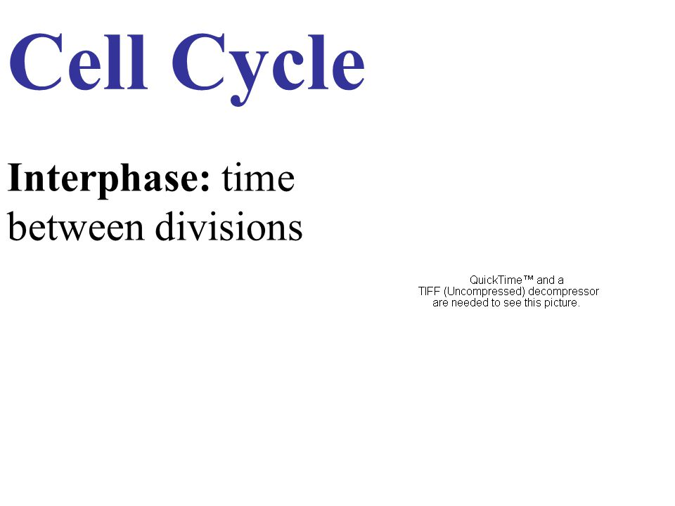 Interphase: time between divisions