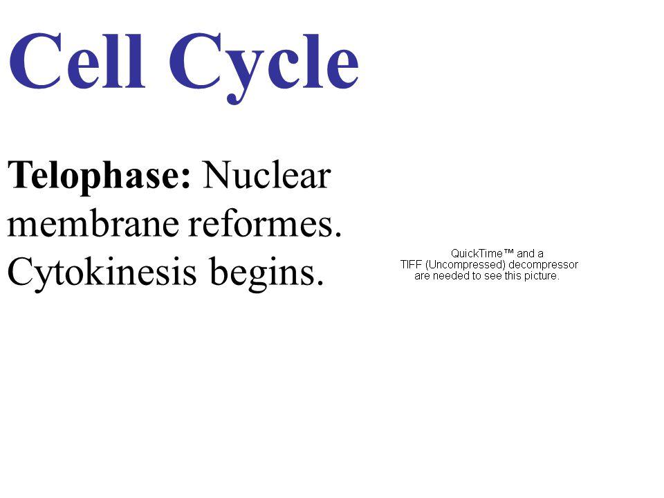 Cell Cycle Telophase: Nuclear membrane reformes. Cytokinesis begins.