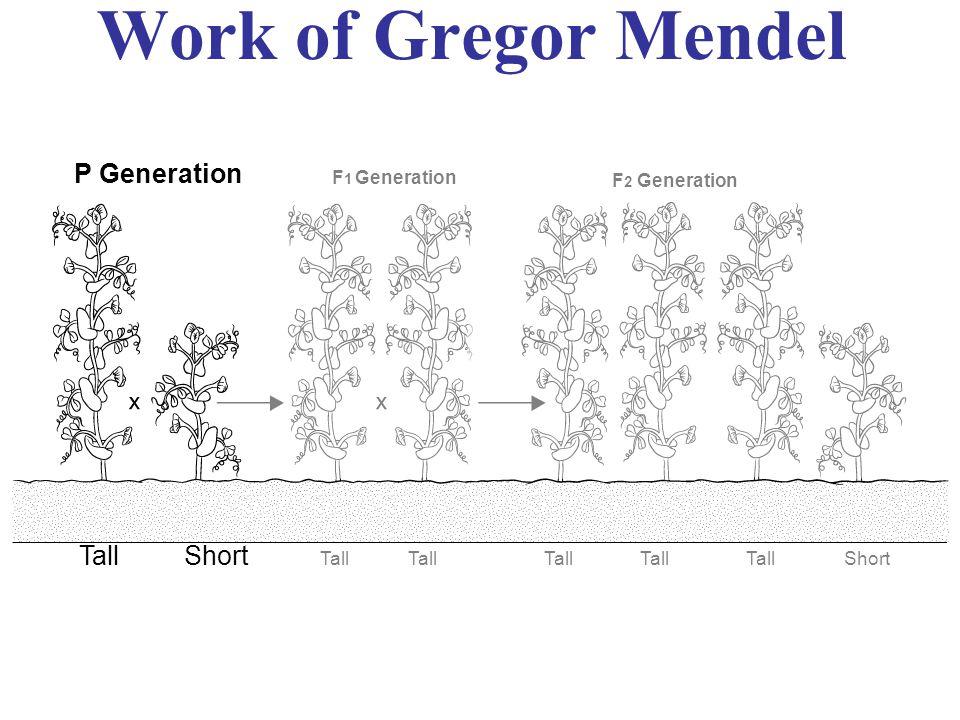 Work of Gregor Mendel P Generation F 1 Generation F 2 Generation TallShort Tall Short