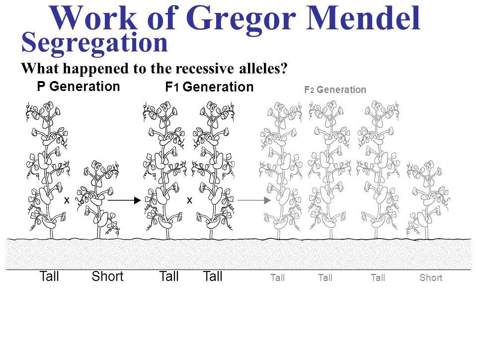 Work of Gregor Mendel P Generation F 1 Generation F 2 Generation TallShortTall Short Segregation What happened to the recessive alleles?