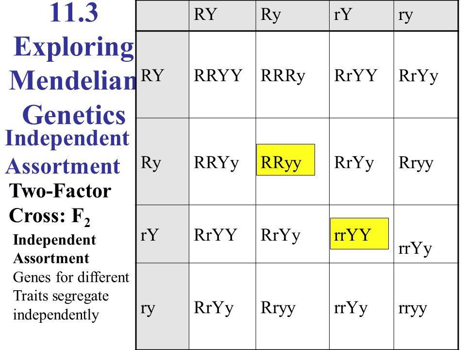 11.3 Exploring Mendelian Genetics Independent Assortment Two-Factor Cross: F 2 RYRyrYry RYRRYYRRRyRrYYRrYy RyRRYyRRyyRrYyRryy rYRrYYRrYyrrYY rrYy ryRr