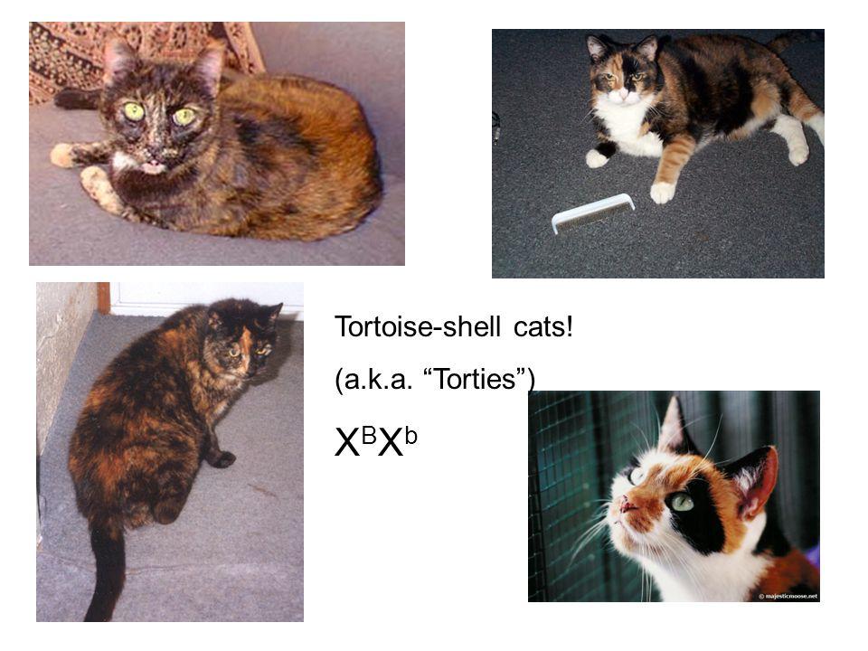 "Tortoise-shell cats! (a.k.a. ""Torties"") X B X b"