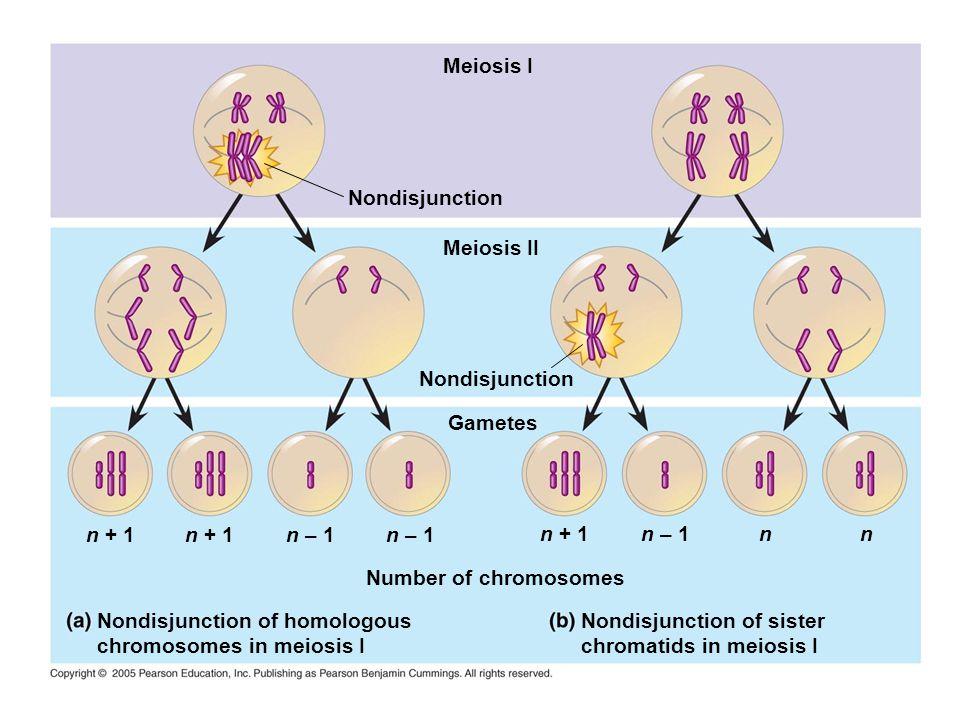 Meiosis I Nondisjunction Meiosis II Nondisjunction Gametes n + 1 Number of chromosomes Nondisjunction of homologous chromosomes in meiosis I n + 1n –