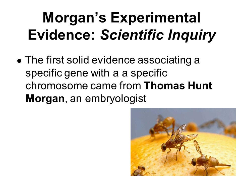 Morgan's Experimental Evidence: Scientific Inquiry ● The first solid evidence associating a specific gene with a a specific chromosome came from Thoma