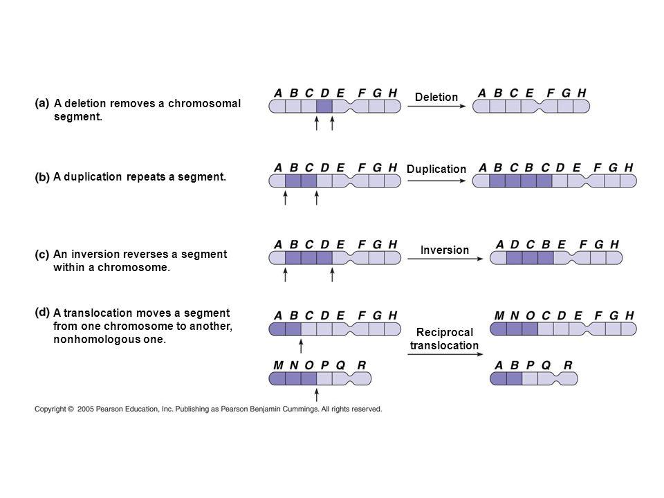 Deletion Duplication Inversion Reciprocal translocation A deletion removes a chromosomal segment. A duplication repeats a segment. An inversion revers