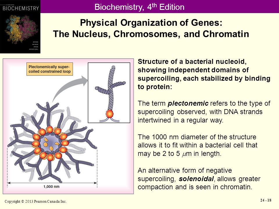 Biochemistry, 4 th Edition Physical Organization of Genes: The Nucleus, Chromosomes, and Chromatin Copyright © 2013 Pearson Canada Inc.