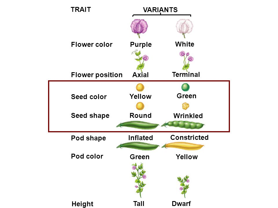 TRAIT VARIANTS Flower colorPurple White Flower positionAxial Terminal Seed color Yellow Green Seed shapeRound Wrinkled Pod shape Inflated Constricted