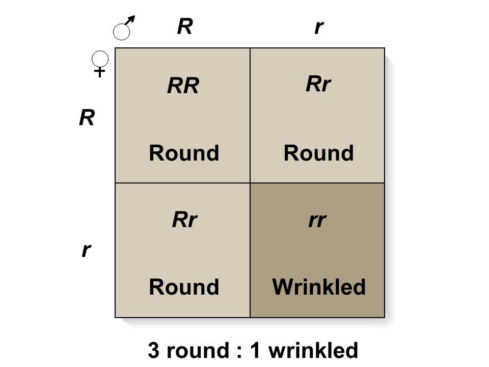R R r r Round Wrinkled RR Rr rr 3 round : 1 wrinkled
