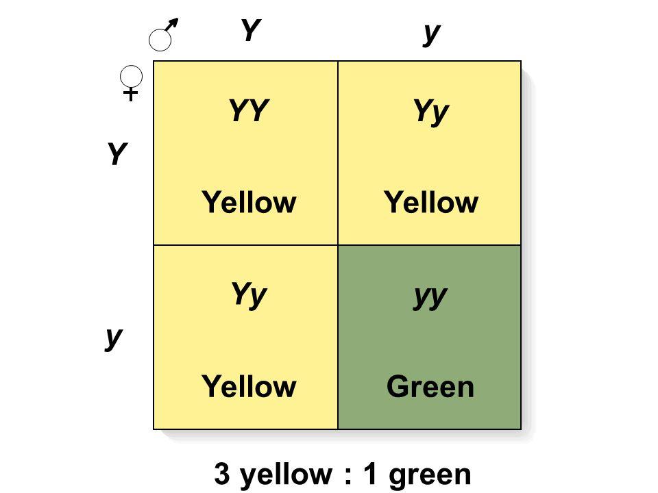 Y Y y y Yellow Green YYYy yy 3 yellow : 1 green