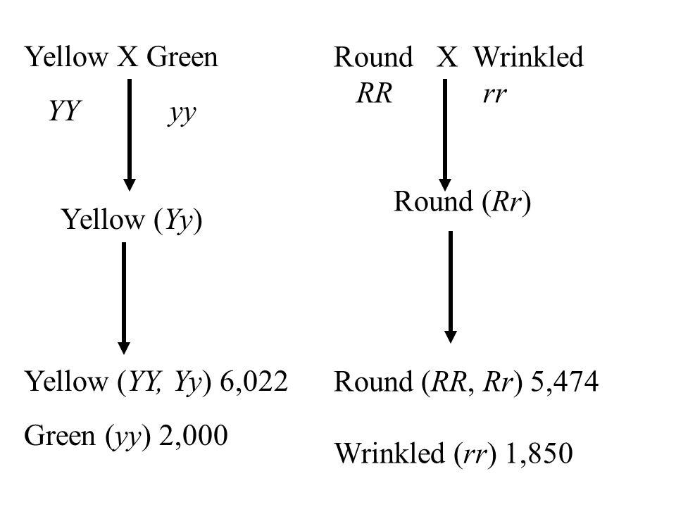 Yellow X Green YY yy Yellow (Yy) Yellow (YY, Yy) 6,022 Green (yy) 2,000 Round X Wrinkled RR rr Round (Rr) Round (RR, Rr) 5,474 Wrinkled (rr) 1,850