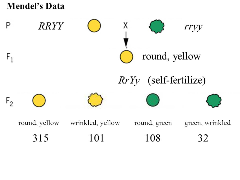 RRYYrryy RrYy (self-fertilize) round, yellow wrinkled, yellow round, green green, wrinkled round, yellow wrinkled, green round, yellow 315 101 108 32 9:3:3:1 Mendel's Data