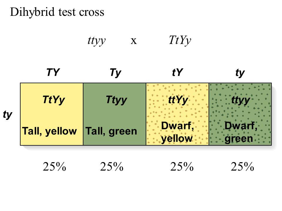 TY ty TytYty Tall, yellowTall, green Dwarf, yellow Dwarf, green TtYyTtyyttYyttyy Dihybrid test cross ttyy x TtYy 25% 25%