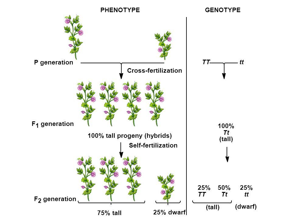 PHENOTYPE P generation TTtt F 1 generation 100% tall progeny (hybrids) Cross-fertilization Self-fertilization F 2 generation GENOTYPE 100% Tt (tall) 25% TT 50% Tt 25% tt (tall) (dwarf) 25% dwarf 75% tall