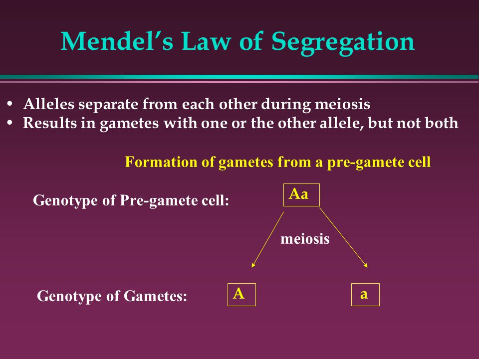 Mendel's Law of Segregation Alleles separate from each other during meiosis Results in gametes with one or the other allele, but not both Formation of gametes from a pre-gamete cell Genotype of Pre-gamete cell: meiosis Genotype of Gametes: A a Aa