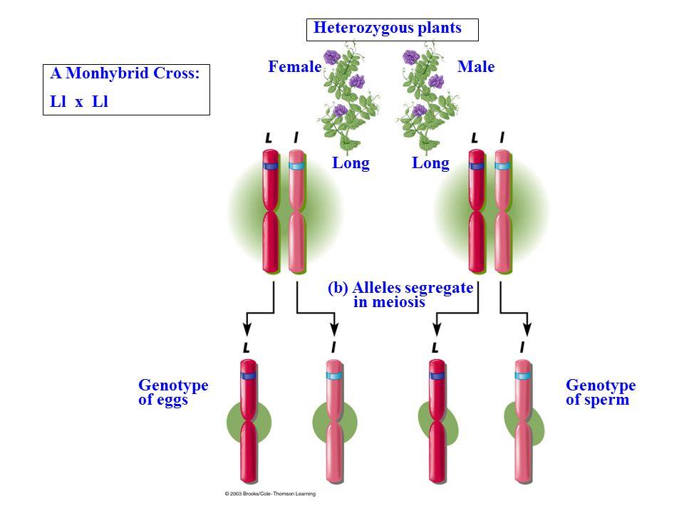 Heterozygous plants FemaleMale Long (b) Alleles segregate in meiosis Genotype of eggs Genotype of sperm A Monhybrid Cross: Ll x Ll