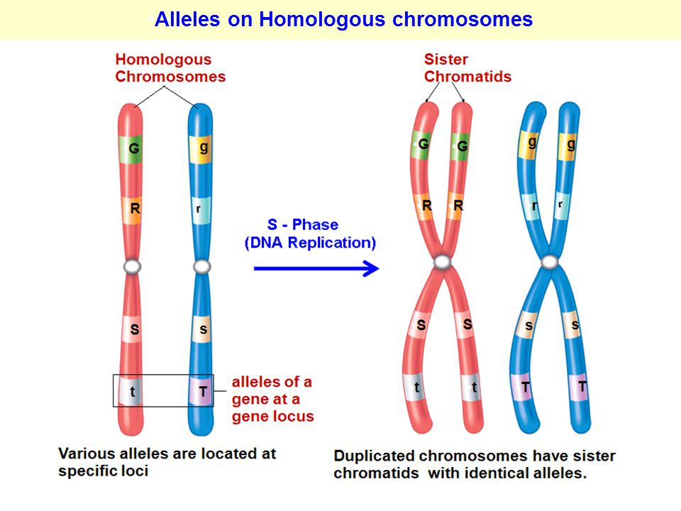 Alleles on Homologous chromosomes