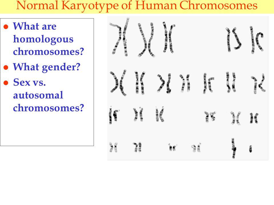 Normal Karyotype of Human Chromosomes l What are homologous chromosomes.